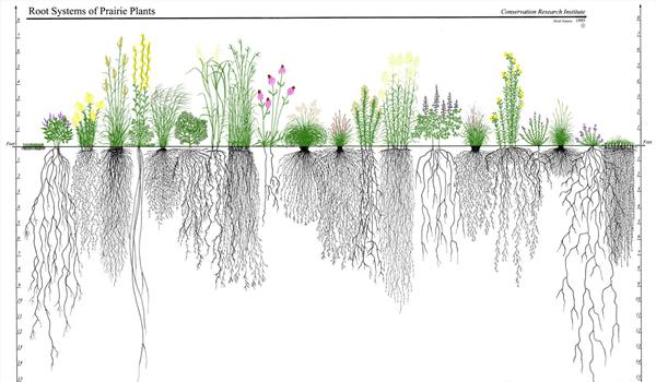 Verschillende wortelstelsels van prairieplaten.